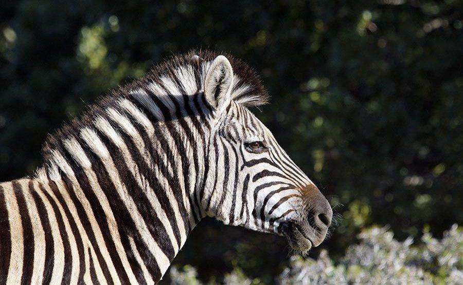 CAQ-Benny-Rebel-Fotoreise-Suedafrika-Zebra