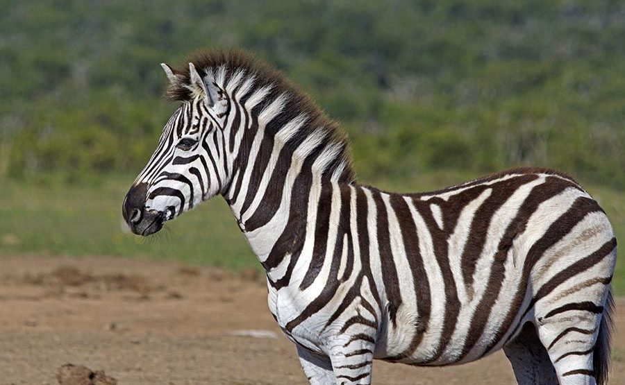 CAS-Benny-Rebel-Fotoreise-Suedafrika-Zebra