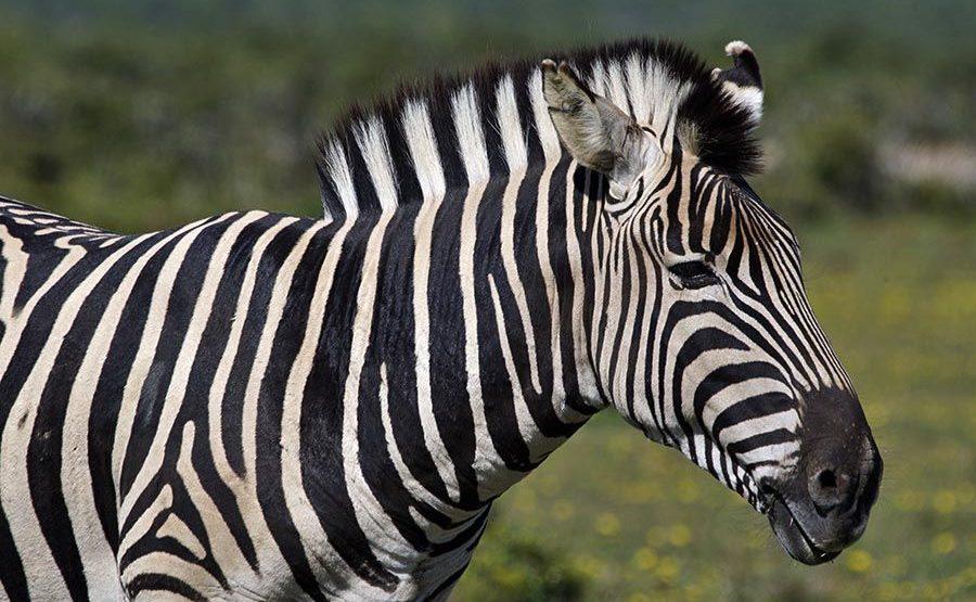 CAU-Benny-Rebel-Fotoreise-Suedafrika-Zebra