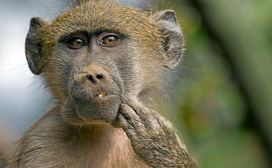 CB-Benny-Rebel-Fotoreise-Suedafrika-Pavian
