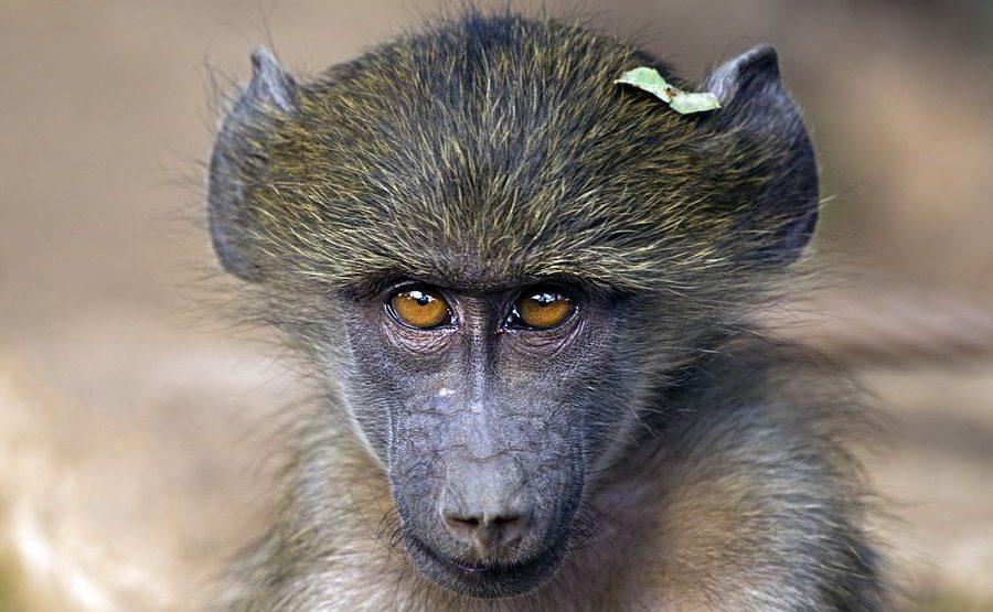 CD-Benny-Rebel-Fotoreise-Suedafrika-Pavian
