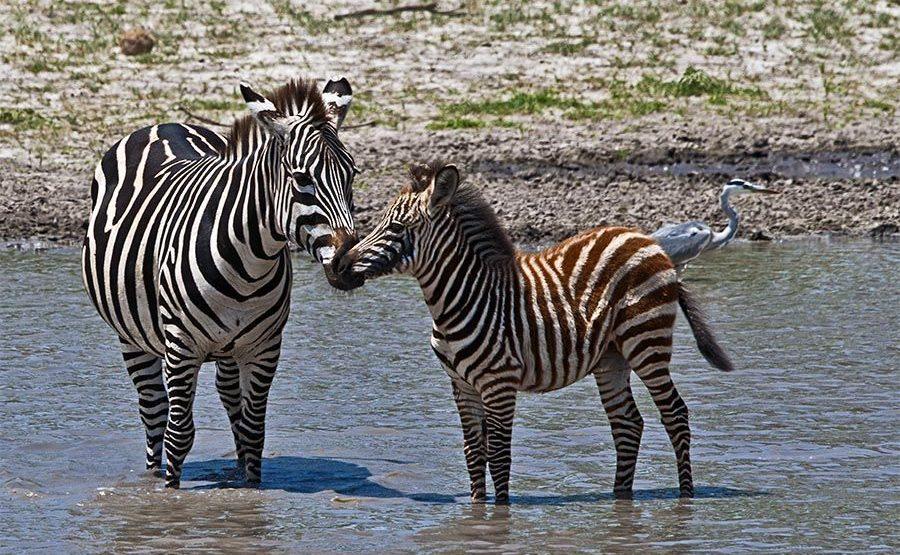 CD-Benny-Rebel-Fotoreise-Tansania-Zebra