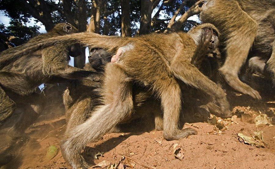 CER-Benny-Rebel-Fotoreise-Suedafrika-Pavian