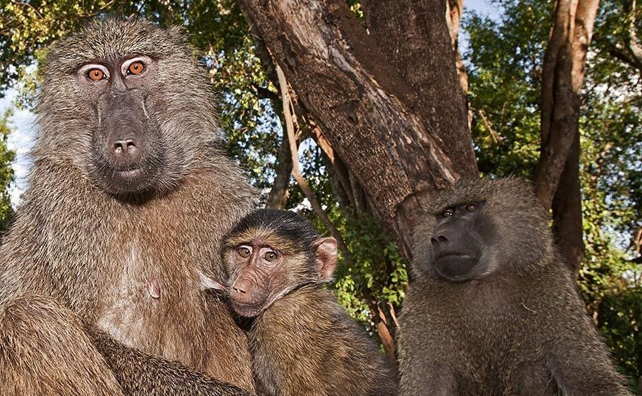 CET-Benny-Rebel-Fotoreise-Tansania-Pavian-1