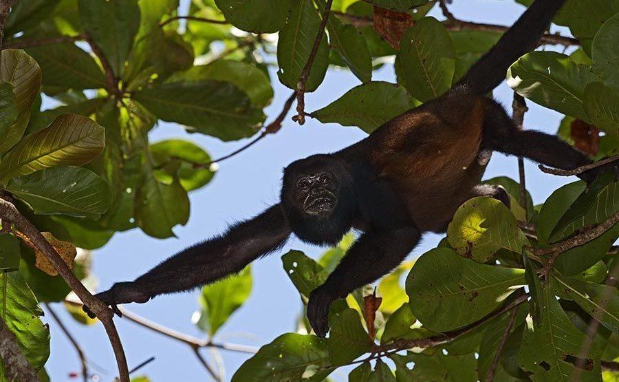 CI-Benny-Rebel-Fotoreise-Costa-Rica-Bruellaffe