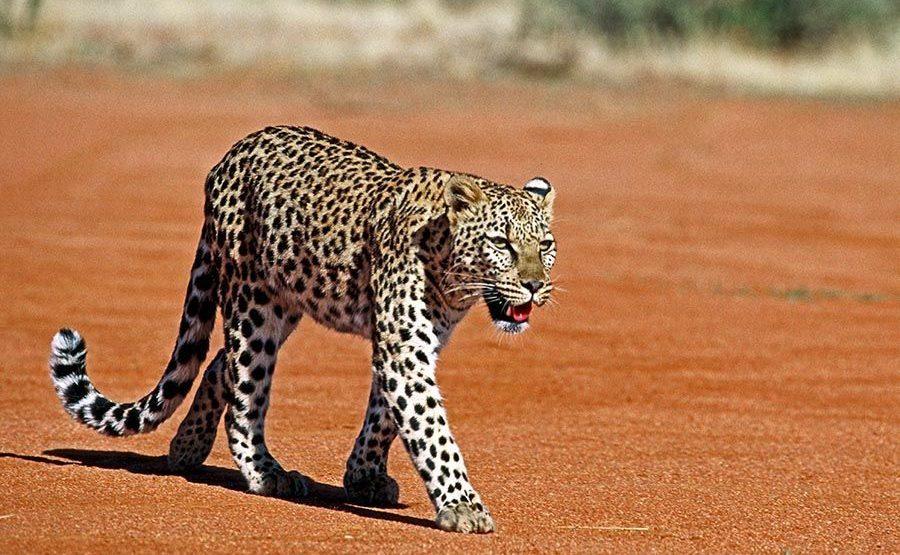 DA-Benny-Rebel-Fotoreise-Namibia-Leopard
