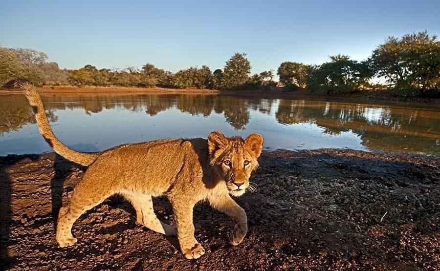 DAAA-Benny-Rebel-Fotoreise-Suedafrika-Loewe