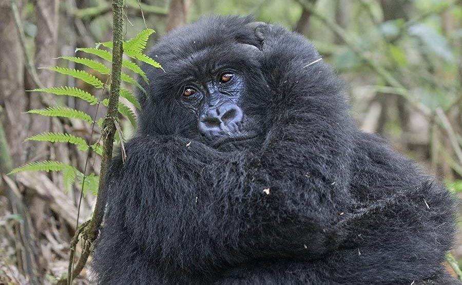 DAE-Benny-Rebel-Fotoreise-Berg-GorillaRuanda