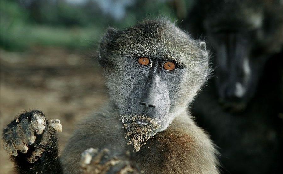 DBA-Benny-Rebel-Fotoreise-Suedafrika-Pavian-1