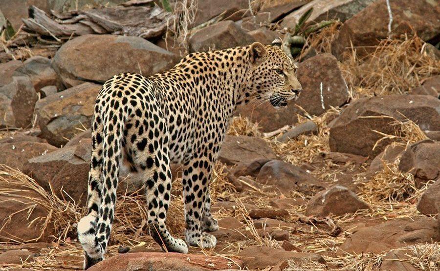 DC-Benny-Rebel-Fotoreise-Afrika-Leopard