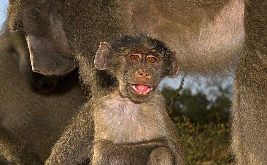 DD-Benny-Rebel-Fotoreise-Suedafrika-Pavian-1
