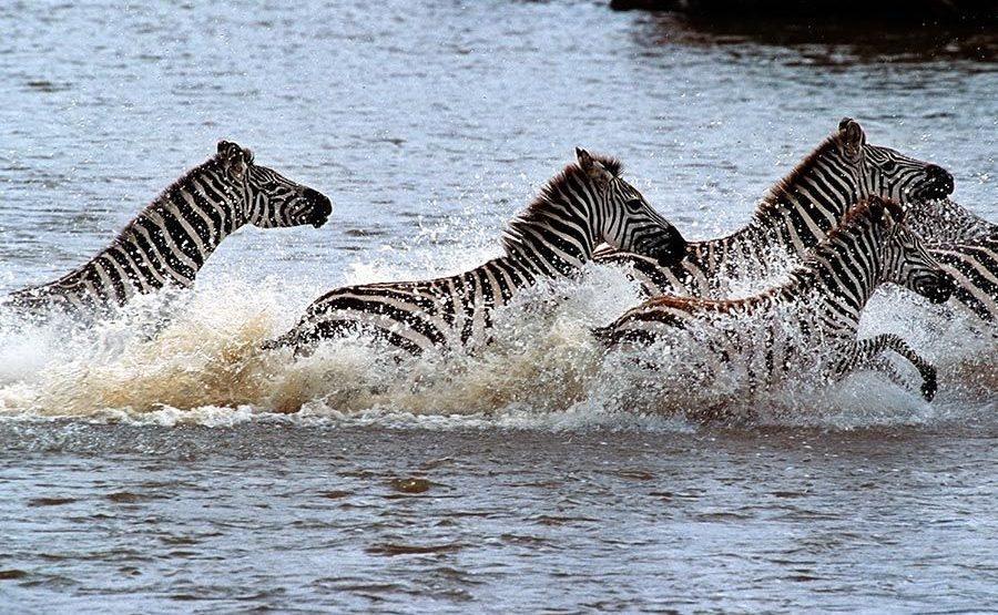 HB-Benny-Rebel-Fotoreise-Tansania-Zebra