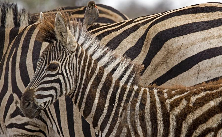 HC-Benny-Rebel-Fotoreise-Tansania-Zebra
