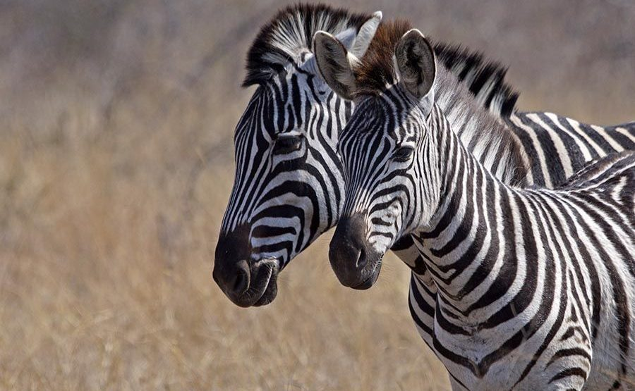 HD-Benny-Rebel-Fotoreise-Suedafrika-Zebra