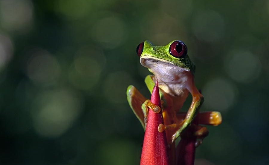 KD-Benny-Rebel-Fotoreise-Frosch-Costa-Rica