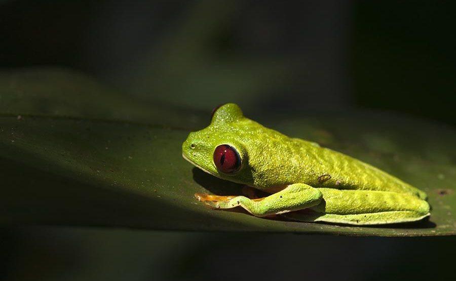 KF-Benny-Rebel-Fotoreise-Frosch-Costa-Rica
