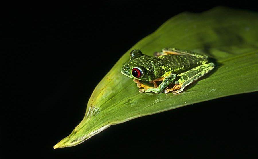 KH-Benny-Rebel-Fotoreise-Frosch-Costa-Rica