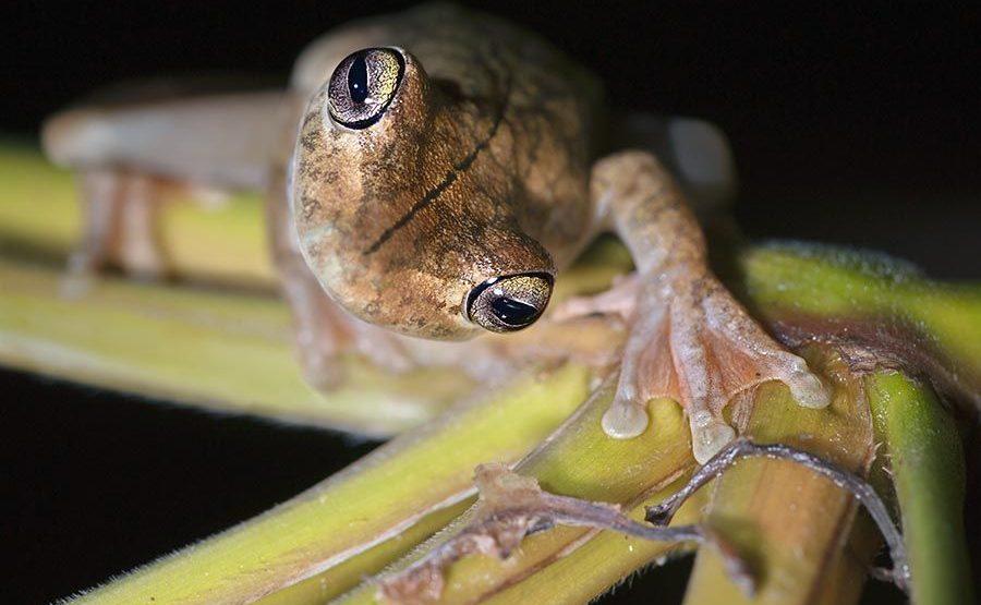 KI-Benny-Rebel-Fotoreise-Frosch-Costa-Rica