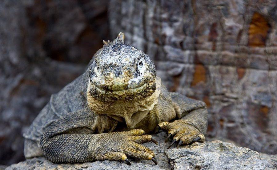 KIQ-Benny-Rebel-Fotoreise-Landleguan-Galapagos