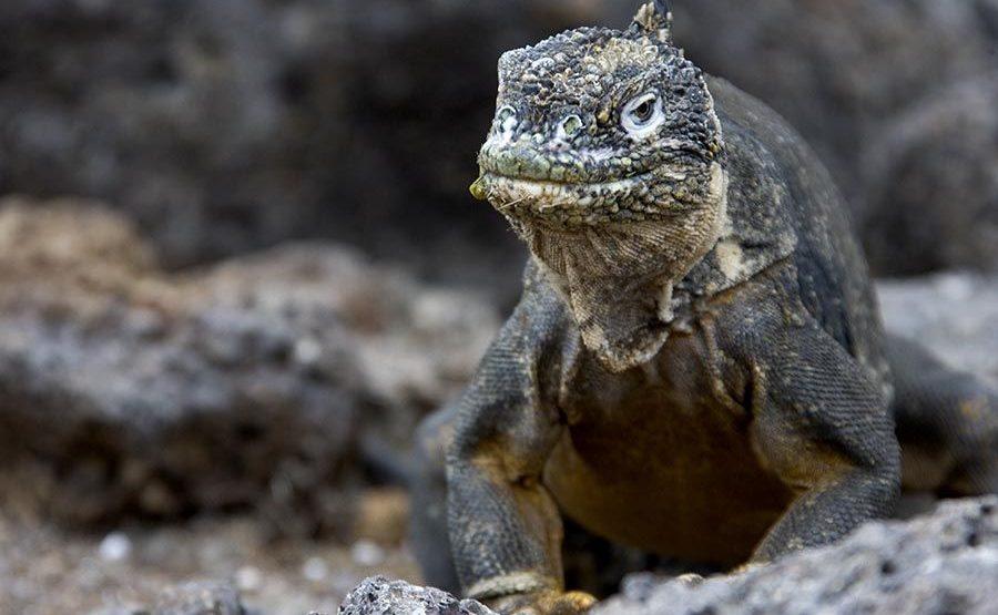KIR-Benny-Rebel-Fotoreise-Landleguan-Galapagos