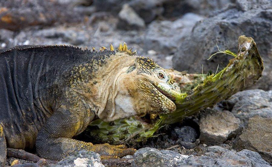 KIS-Benny-Rebel-Fotoreise-Landleguan-Galapagos