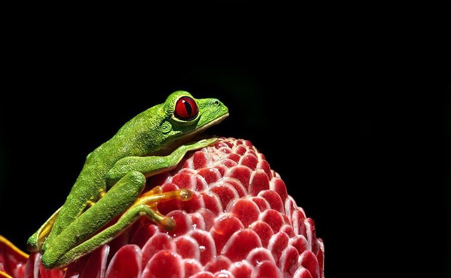 OB-Benny-Rebel-Fotoreise-Frosch-Costa-Rica