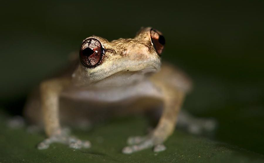 OC-Benny-Rebel-Fotoreise-Frosch-Costa-Rica