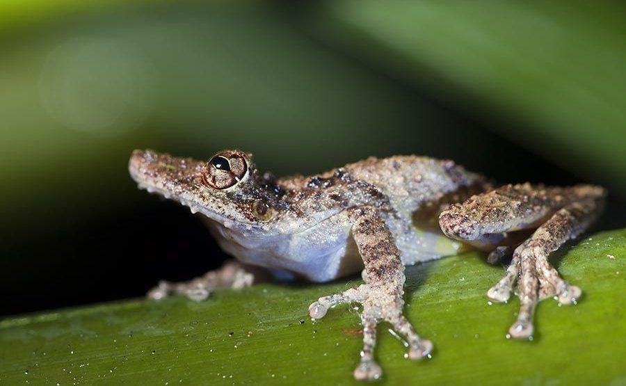 OF-Benny-Rebel-Fotoreise-Frosch-Costa-Rica