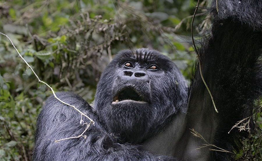 PAA-Benny-Rebel-Fotoreise-Berg-GorillaRuanda