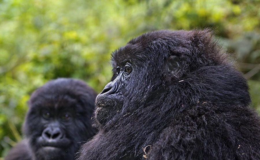 PAB-Benny-Rebel-Fotoreise-Berg-GorillaRuanda