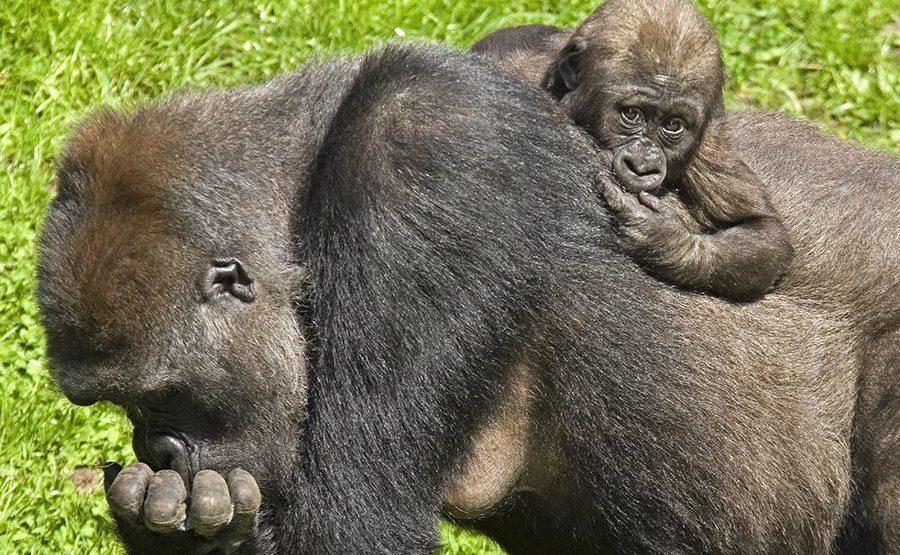 PAG-Benny-Rebel-Fotoreise-Gorilla