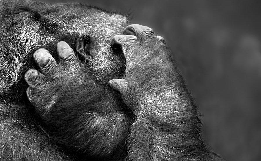 PAJ-Benny-Rebel-Fotoreise-Gorilla