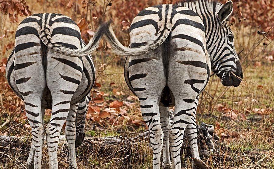 POB-Benny-Rebel-Fotoreise-Suedafrika-Zebra