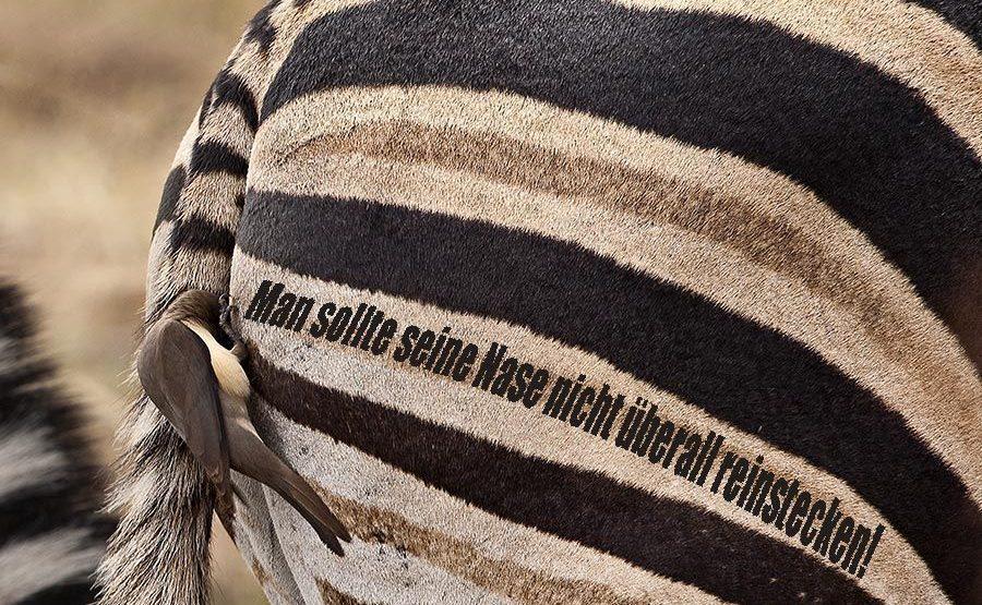 PQ-Benny-Rebel-Fotoreise-Suedafrika-Zebra