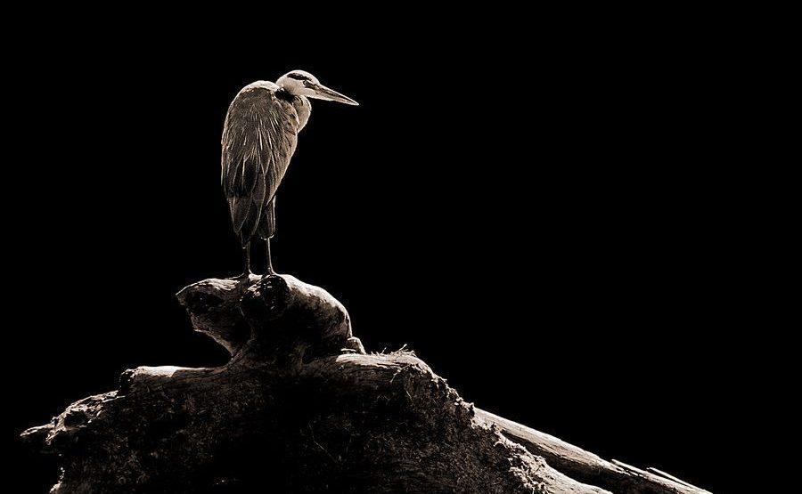 QP-Benny-Rebel-Fotoreise-Kenia-Graureiher