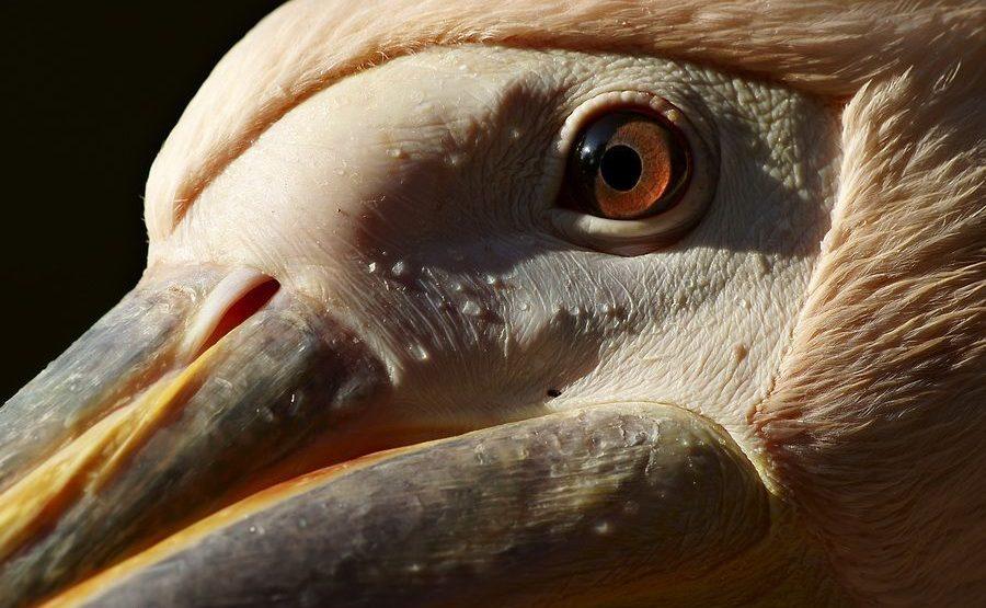 RG-Benny-Rebel-Fotoreise-Suedafrika-Pelikan