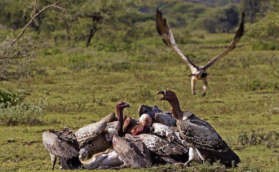 SG-Benny-Rebel-Fotoreise-Tansania-Geier