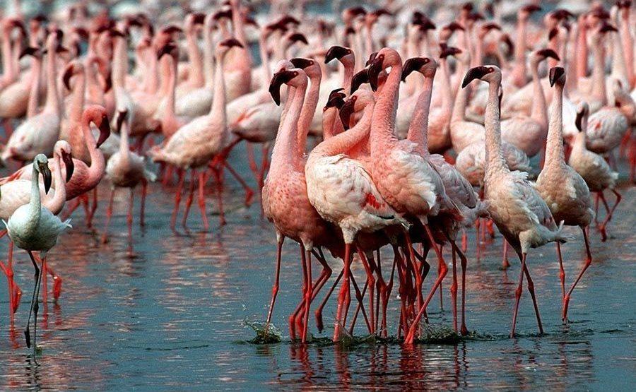 TKA-Benny-Rebel-Fotoreise-Kenia-Flamingo