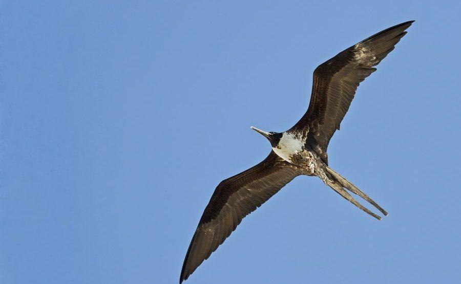 UA-Benny-Rebel-Fotoreise-FregattvogelGalapagos