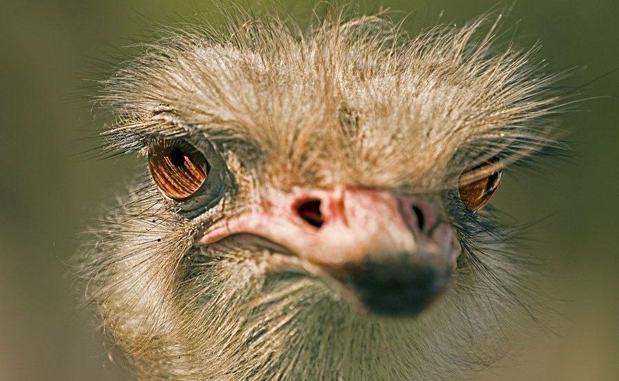 UF-Benny-Rebel-Fotoreise-Suedafrika-Strauss