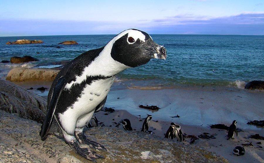 UGA-Benny-Rebel-Fotoreise-Suedafrika-Brillenpinguin