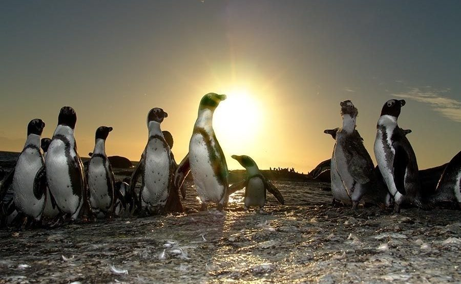 UGF-Benny-Rebel-Fotoworkshop-Suedafrika-Brillenpinguin