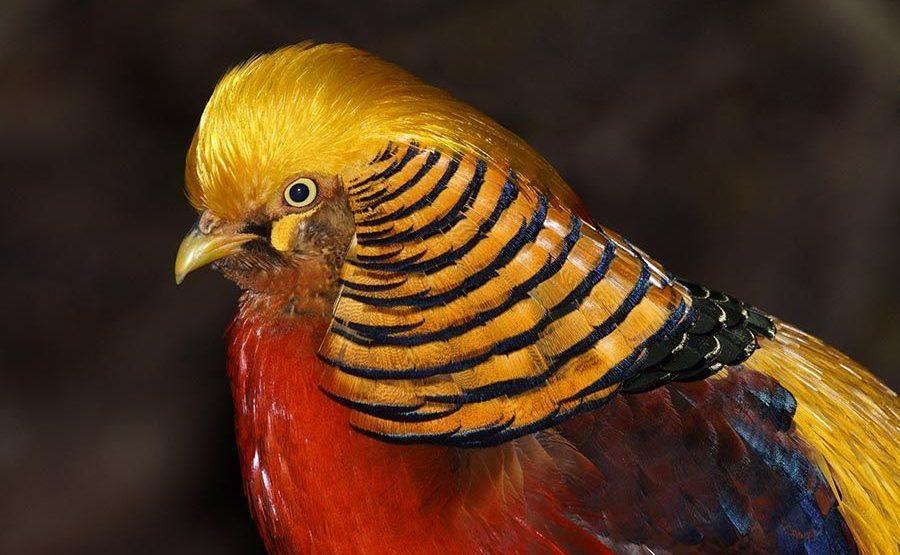 VA-Benny-Rebel-Fotoworkshop-Vogelfotografie-Goldfasan