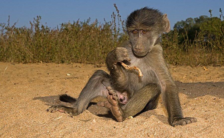 VE-Benny-Rebel-Fotoreise-Suedafrika-Pavian
