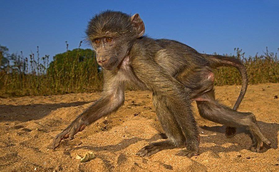VG-Benny-Rebel-Fotoreise-Suedafrika-Pavian