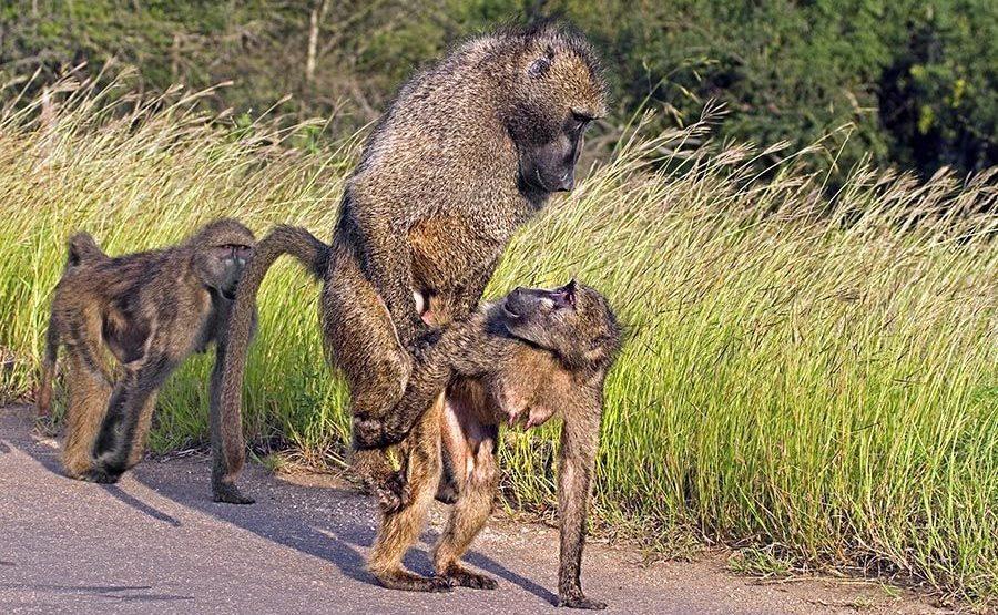 VK-Benny-Rebel-Fotoreise-Suedafrika-Pavian
