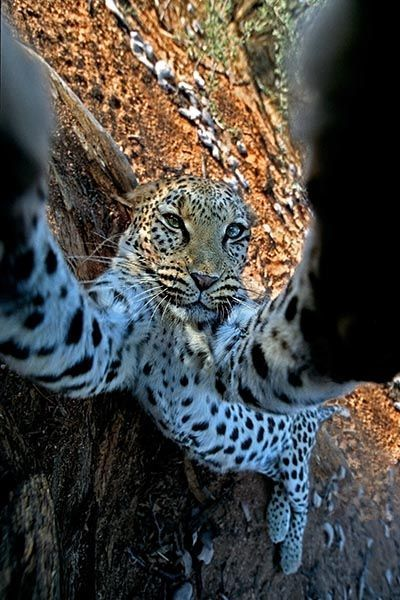 ZAA-Benny-Rebel-Fotoreise-Namibia-Leopard