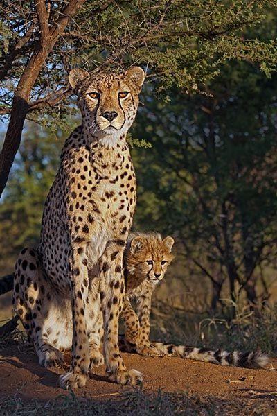 ZH-AA-Benny-Rebel-Fotoreise-Suedafrika-Gepard