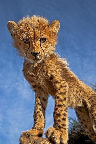 ZH-AB-Benny-Rebel-Fotoreise-Suedafrika-Gepard