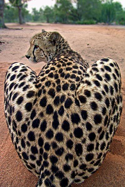 ZH-AE-Benny-Rebel-Fotoreise-Suedafrika-Gepard